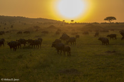 Suset Buffalo Herd